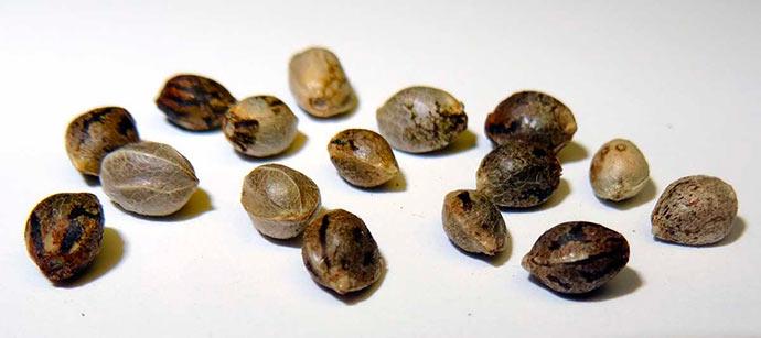 semente maconha - 2ª Turma do STF decide que importar sementes de maconha não gera processo criminal