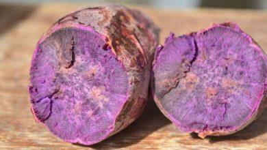 Batata doce Luiza Credito Aires Mariga Epagri 390x220 - Epagri desenvolve batata-doce que protege contra doenças