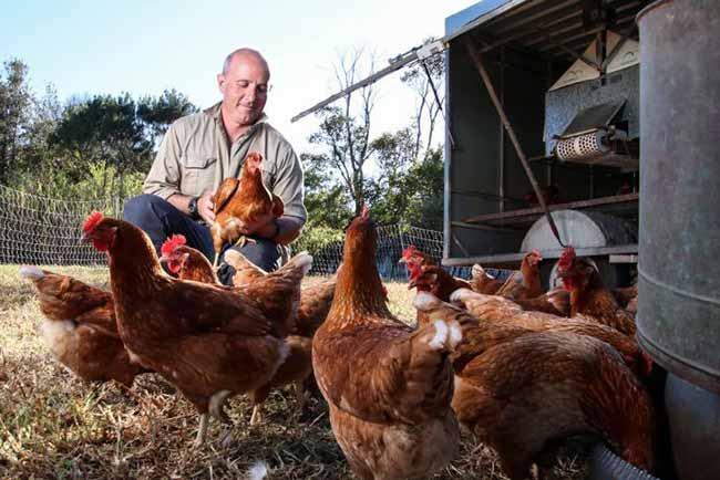 Criador de galinhas - Produtor rural pode requerer recuperação judicial