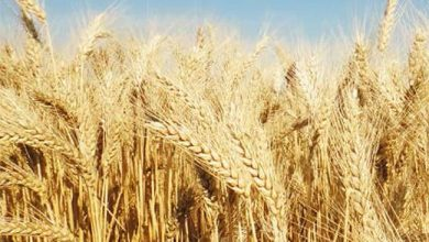 cartilhadoagricultor versao  390x220 - Abitrigo lança 2ª edição da cartilha sobre o uso de agrotóxicos na cultura do trigo