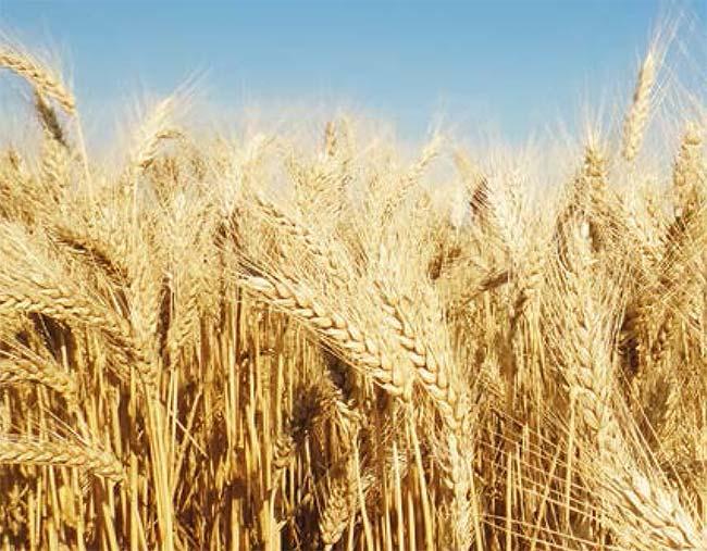 cartilhadoagricultor versao  - Abitrigo lança 2ª edição da cartilha sobre o uso de agrotóxicos na cultura do trigo