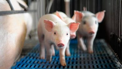 peste suína 390x220 - Novos focos de peste suína são encontrados no Ceará