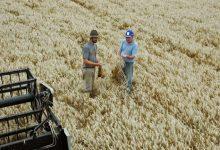 trigo rs 220x150 - Colheita do trigo está quase concluída no RS