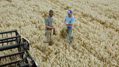 trigo rs 390x220 - Colheita do trigo está quase concluída no RS
