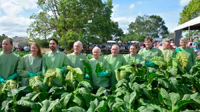 colheita do tabaco - Inicia colheita do tabaco no Rio Grande do Sul