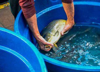 Feira do Peixe Vivo de Caxias do Sul registra aumento de 35% nas vendas