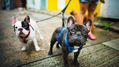 Cães Bulldog Francês 390x220 - VAI PASSEAR COM O CACHORRO NESTE VERÃO?