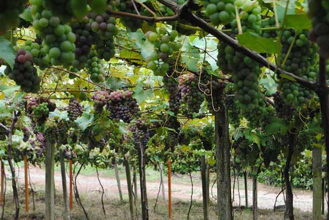 Festa de Abertura da Colheita da Uva em Caxias do Sul 1 - Caxias promove Festa de Abertura da Colheita da Uva