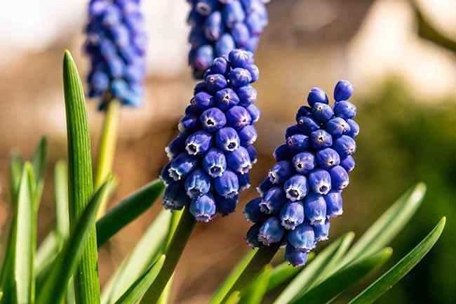 Jacinto - Dicas de flores para decorar a casa no verão
