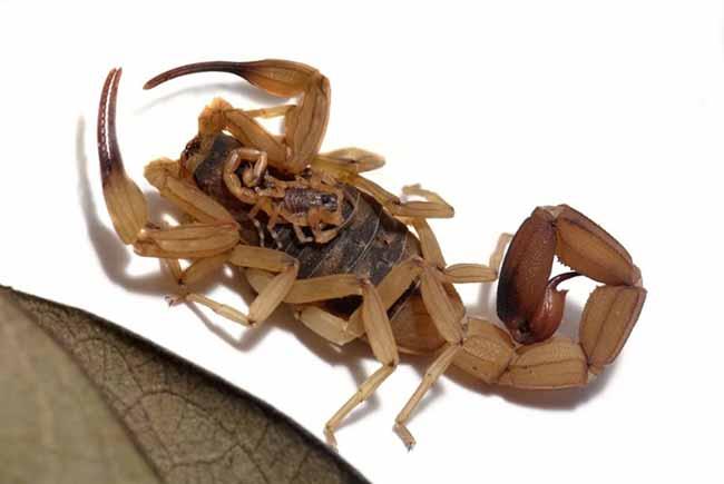 O perigoso escorpião amarelo é muito venenoso - Escorpiões se reproduzem mais rápido no verão