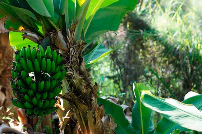 banana - Culturas de verão no RS seguem em desenvolvimento