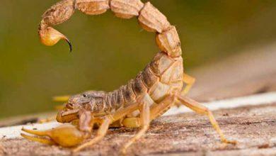 escorpiao amarelo 390x220 - Ministério da Saúde alerta sobre picadas de escorpião