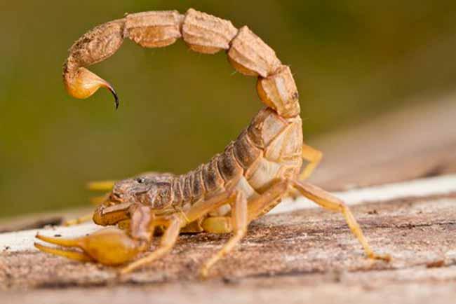 escorpiao amarelo - Ministério da Saúde alerta sobre picadas de escorpião