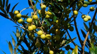 oliva rs 390x220 - RS: abertura oficial da colheita da oliva será em março