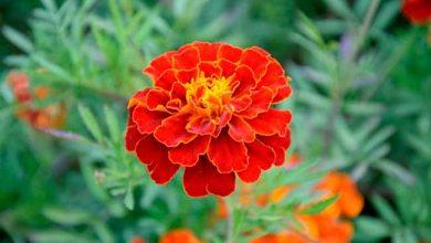 tagete 390x220 - Dicas de flores para decorar a casa no verão