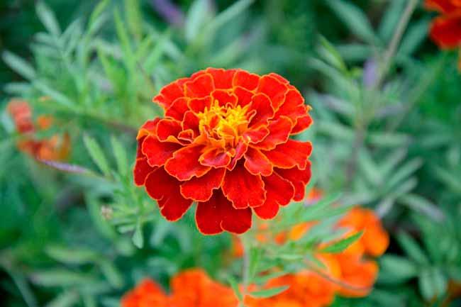 tagete - Dicas de flores para decorar a casa no verão