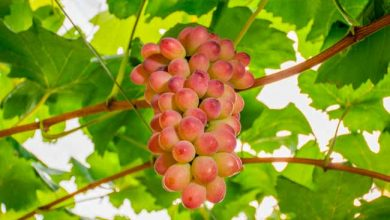 BRS Melodia 390x220 - Embrapa Uva e Vinho lançou duas novas cultivares de uvas adaptadas à Região Sul