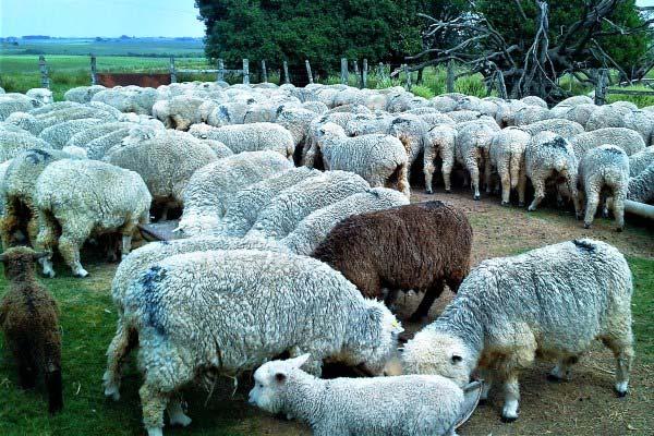 Criadores de Ovinos - 40ª Feira de Ovinos e 31ª Lã e Carne inicia em Dom Pedrito