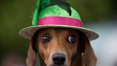 dogcarn 390x220 - Cuidados com os pets no Carnaval