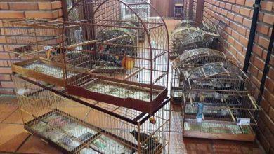 gaiolas Pássaros foram enviadas para o IBAMA 390x220 - Semam apreende pássaros no bairro Santo Afonso em Novo Hamburgo