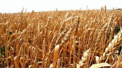 trigo 390x220 - IBGE estima safra de grãos 1,9% maior que a do ano passado