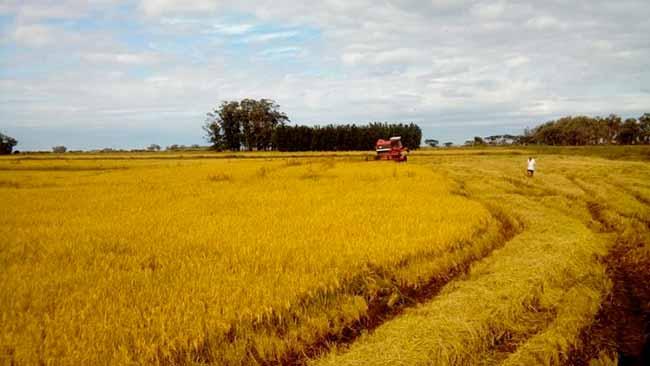 arroz RS - Colheita do Arroz Orgânico será comemorado nesta quinta em Viamão