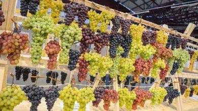 exposição de uvas encanta visitantes 1 390x220 - Espaço de exposição de uvas encanta visitantes na Festa em Caxias do Sul