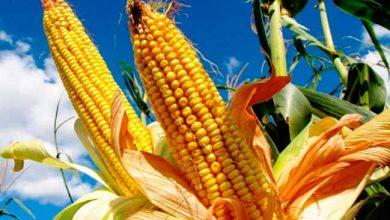 milhors 390x220 - RS: lavoura de milho está 99% colhida