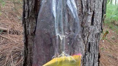 pinus 390x220 - Resina de pinus pode ser alternativa econômica para o Alto Uruguai