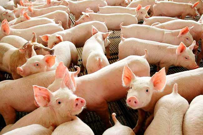 suinos - Abate de suínos e produção de ovos foi recorde em 2018
