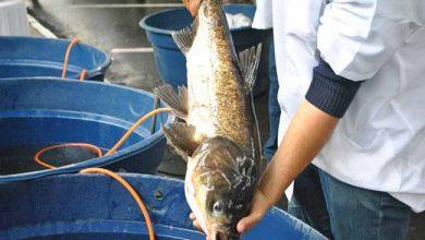 Feira do Peixe Vivo 3 390x220 - Primeiro dia da Feira do Peixe Vivo atrai centenas de pessoas em Caxias