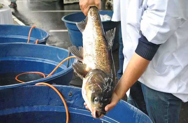 Feira do Peixe Vivo 3 - Primeiro dia da Feira do Peixe Vivo atrai centenas de pessoas em Caxias