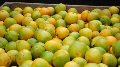 Safra de laranja 2 390x220 - Safra de laranja deve chegar ao dobro da média anual em Caxias do Sul