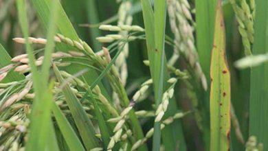 abiarroz abertura colheita 28 4 19 1 390x220 - Arroz beneficiado brasileiro participa da SIAL Canadá