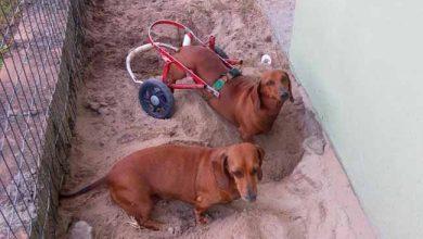 Cachorródromo Hulk 390x220 - Cão cadeirante é homenageado em Cachoeirinha