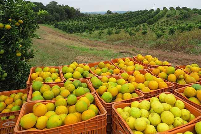 Dia de Campo vai reunir citricultores em Farroupilha nesta quarta feira - Dia de Campo vai reunir citricultores em Farroupilha nesta quarta-feira