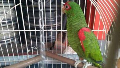 Semma e Patram resgatam papagaios e caturritas em Caxias 1 390x220 - Semma e Patram resgatam papagaios e caturritas em Caxias