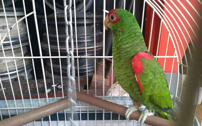 Semma e Patram resgatam papagaios e caturritas em Caxias 1 - Semma e Patram resgatam papagaios e caturritas em Caxias