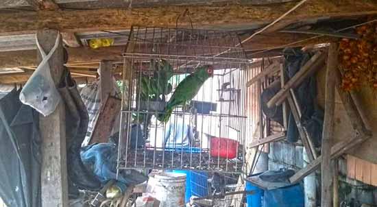 Semma e Patram resgatam papagaios e caturritas em Caxias 3 - Semma e Patram resgatam papagaios e caturritas em Caxias