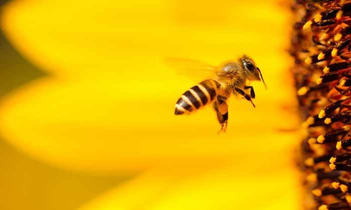 abelha e flor amarela - Semana do Meio Ambiente: confirma programação em Caxias do Sul
