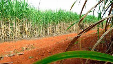cana de acucar 390x220 - Brasil e China chegam a acordo sobre taxas do açúcar