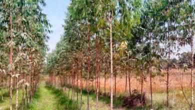 euc 390x220 - Pesquisa aponta que eucalipto não causa erosão do solo