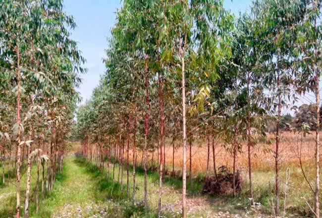 euc - Pesquisa aponta que eucalipto não causa erosão do solo