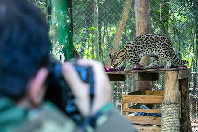 Gatos silvestres do Mini Zoo - Gatos silvestres do Mini Zoo de Canoas em projeto fotográfico nacional