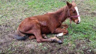Potro sofrendo maus tratos em Caxias do Sul 390x220 - Proteção Animal de Caxias resgata potro em situação de maus tratos