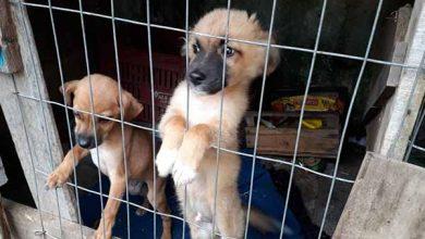 cães em situação de maus tratos 1 390x220 - Semma resgata cinco cães em situação de maus tratos em Caxias do Sul
