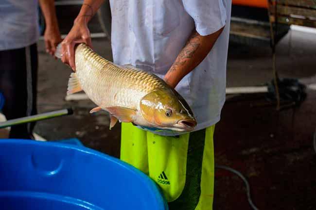feira peixe caxias - Feira do Peixe Vivo nesta sexta-feira em Caxias do Sul