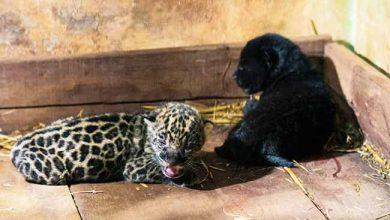 onça itaipu 390x220 - Mais duas onças-pintadas nascem em reserva no Paraná