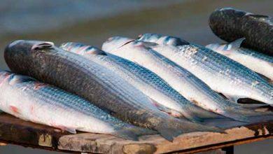 tainha 390x220 - Santa Catarina: TRF4 mantém suspensão da pesca industrial de tainha