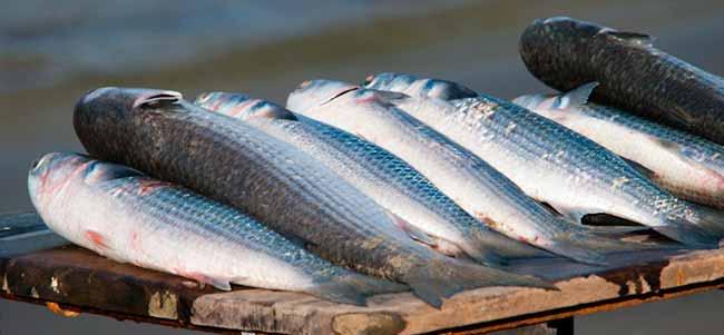 tainha - Santa Catarina: TRF4 mantém suspensão da pesca industrial de tainha